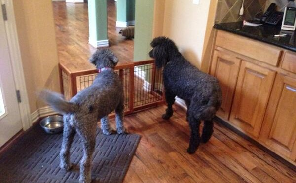 Tweet: Hey @nonsequiteuse, … poodles